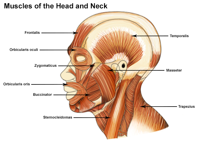 Illustration of the head and neck muscles