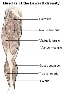 Illustration of the muscles of the lower extremity
