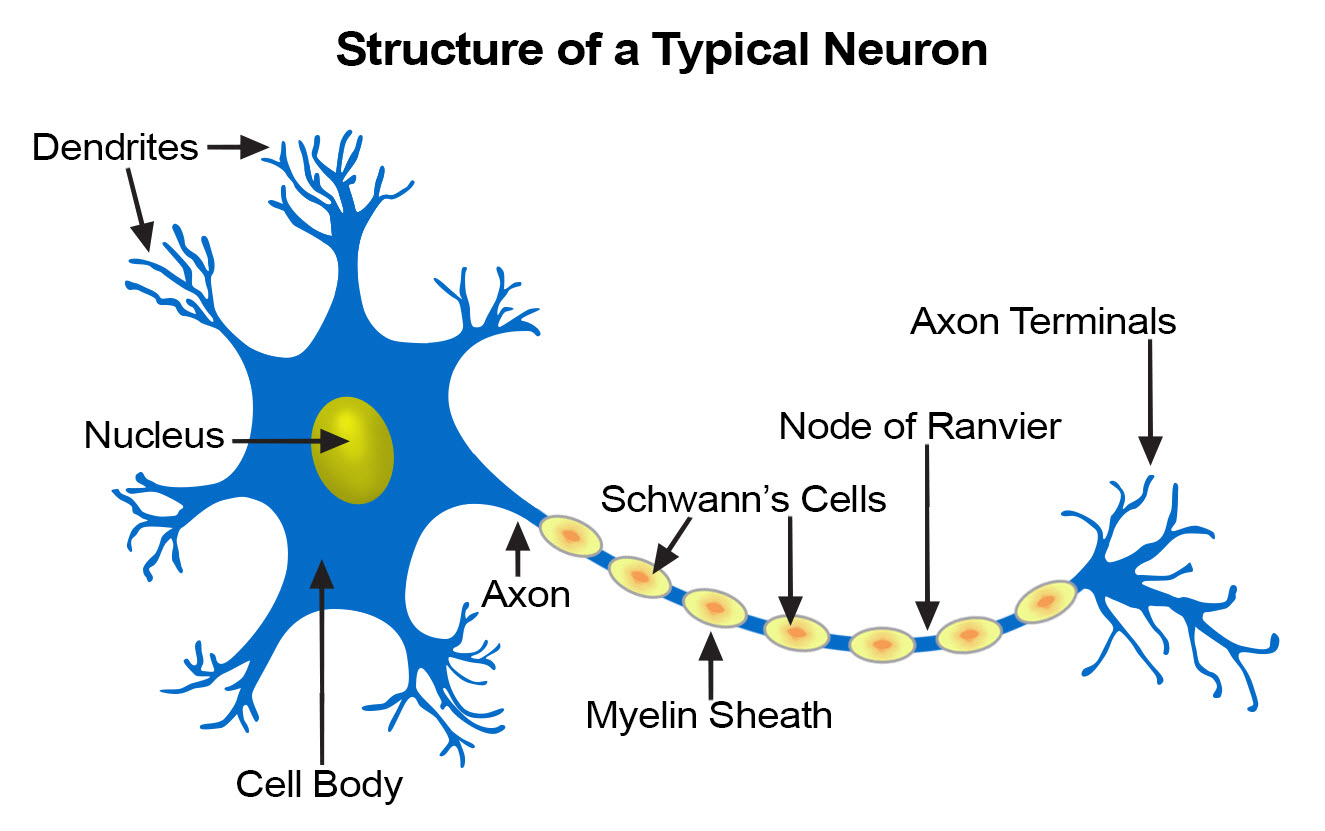 Illustration of a neuron