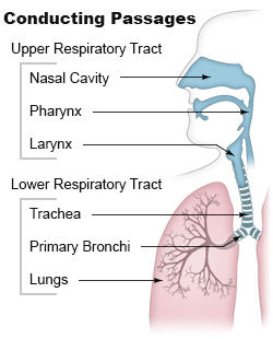 Illustration of the conducting passages of the upper and lower respiratory tracts