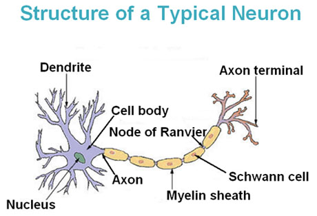Neuron Structure And Function http://www.training.seer.cancer.gov/brain/tumors/anatomy/neurons.html