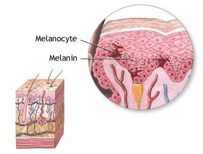 Illustration of the layers of the skin